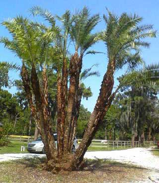 Palm Trees After